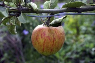 Encontrada em algumas frutas como a maçã