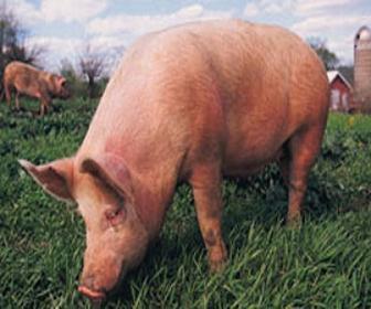 Sistemas de criação de suínos