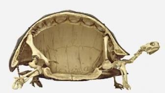 Visão geral da anatomia óssea de um quelônio