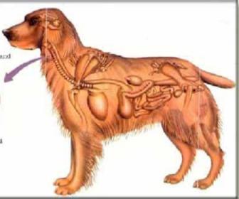 Intestino Delgado em cães e gatos