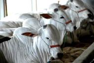 Curso Online de Rastreabilidade bovina