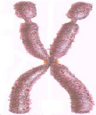 Cromossomos Autossomos X Cromossomos Sexuais