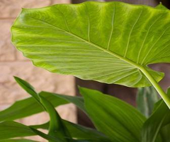 É através do magnésio que as plantas transformam a luz em alimento