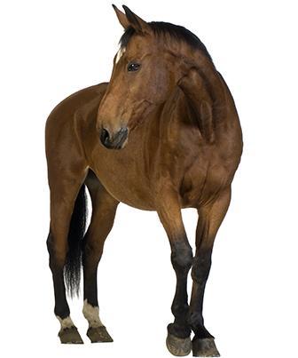 Ração para cavalo: Quais os componentes ideais?