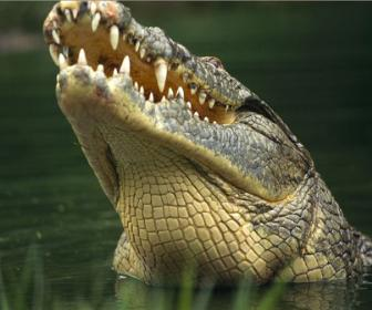 A Ordem Crocodilia