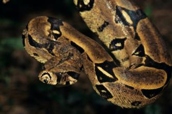 A ação do veneno das serpentes e os sintomas