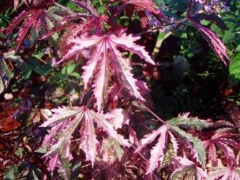 Vinagreira Roxa (Hibiscus Acetosella) como alternativa na área vegetal