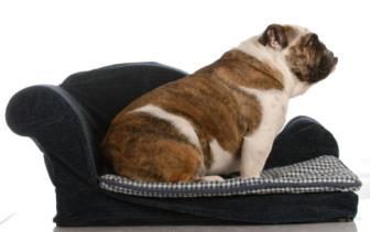 2° e 3° Estágio de Vida do Cão (Juvenil e Brat)