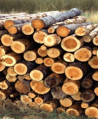 Casca de salgueiro - Salix  - Planta utilizada na dor e na inflamação