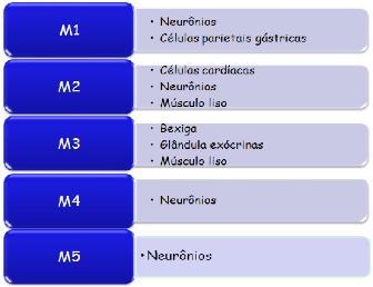 Receptores colinérgicos: muscarínicos e nicotínicos