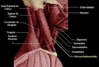 Composição das miofibrilas e contração muscular