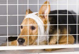 Curso Cuidados Clínicos no Pós Operatório de Cães e Gato - VET